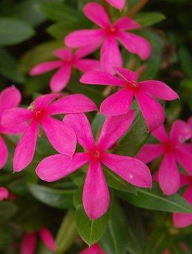 Soiree Kawaii Vinca Pink